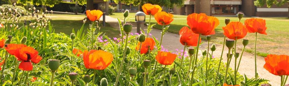 Poppies stand tall in the sunshine